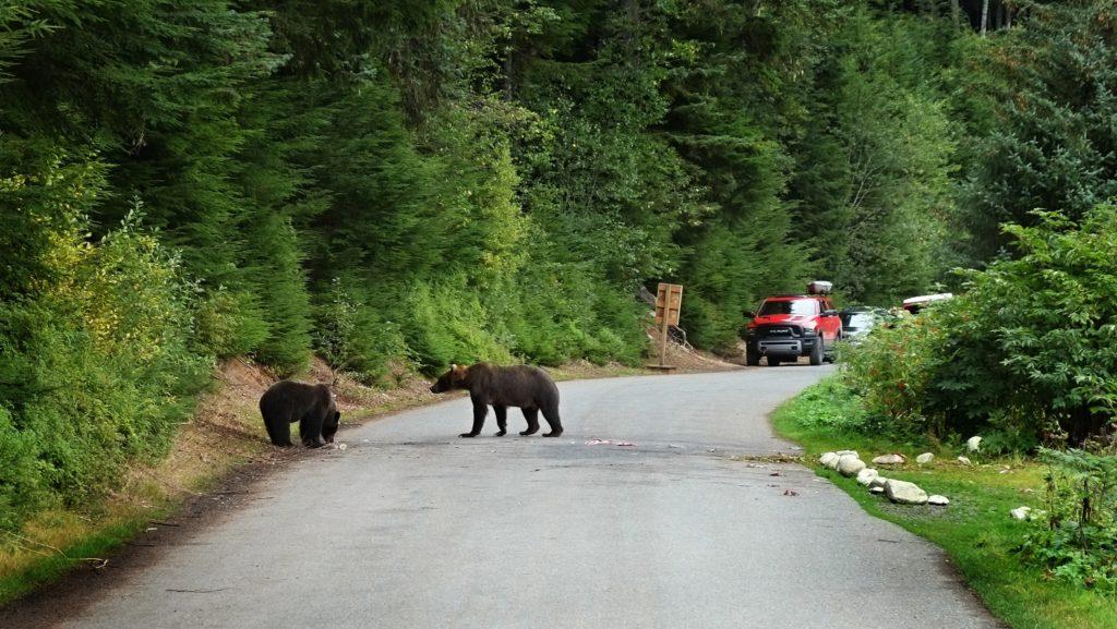 Medvědi na Aljašce